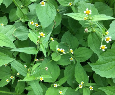 Žltnica maloúborová, (Galinsoga parviflora)