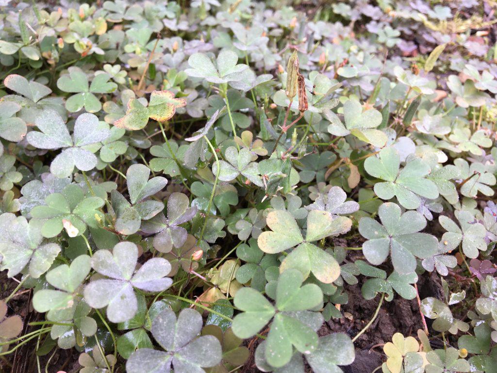 Kysličkovec rožkatý, (Oxalis corniculata)