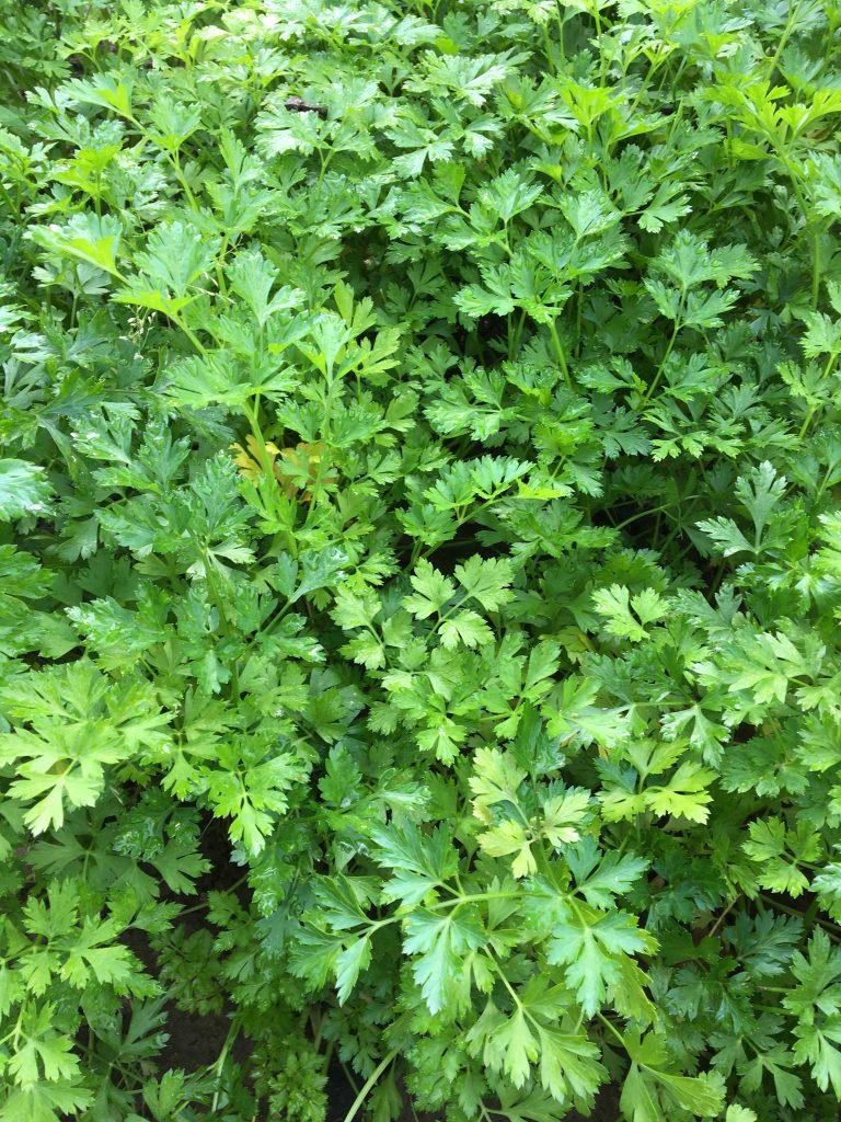 Petržlen záhradný (Petroselinum crispum)