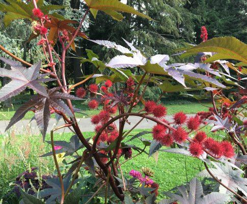 Ricín obyčajný, (Ricinus communis)
