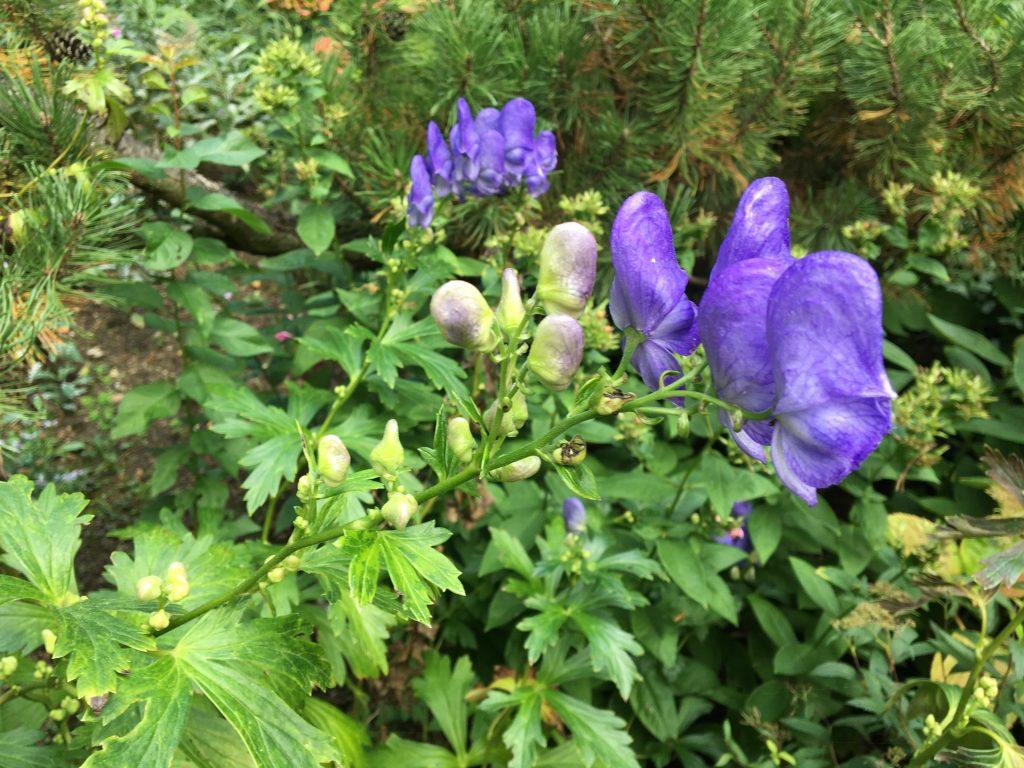 Prilbica modrá, (Aconitum firmum)