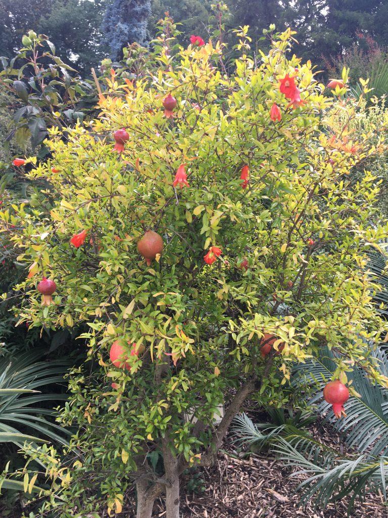Granátovník púnsky (Punica granatum)