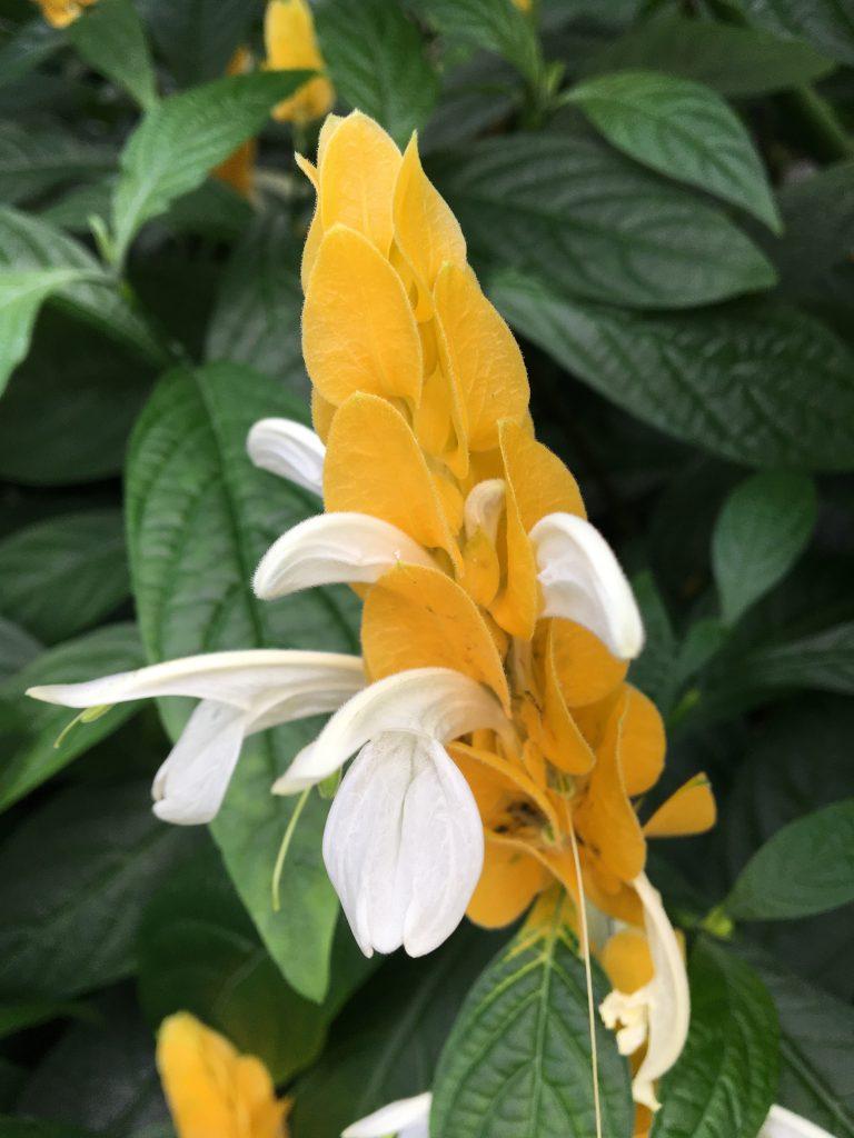 Hustoklasec žltý, (Pachystachys lutea)
