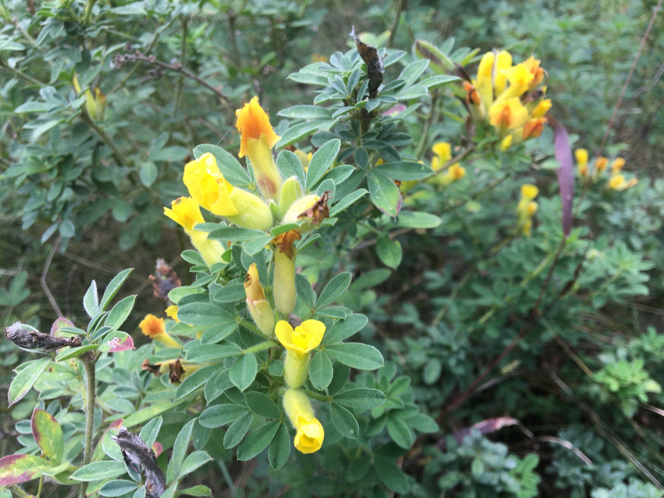 Zanoväť trojkvetá,(Cytisus hirsutus)