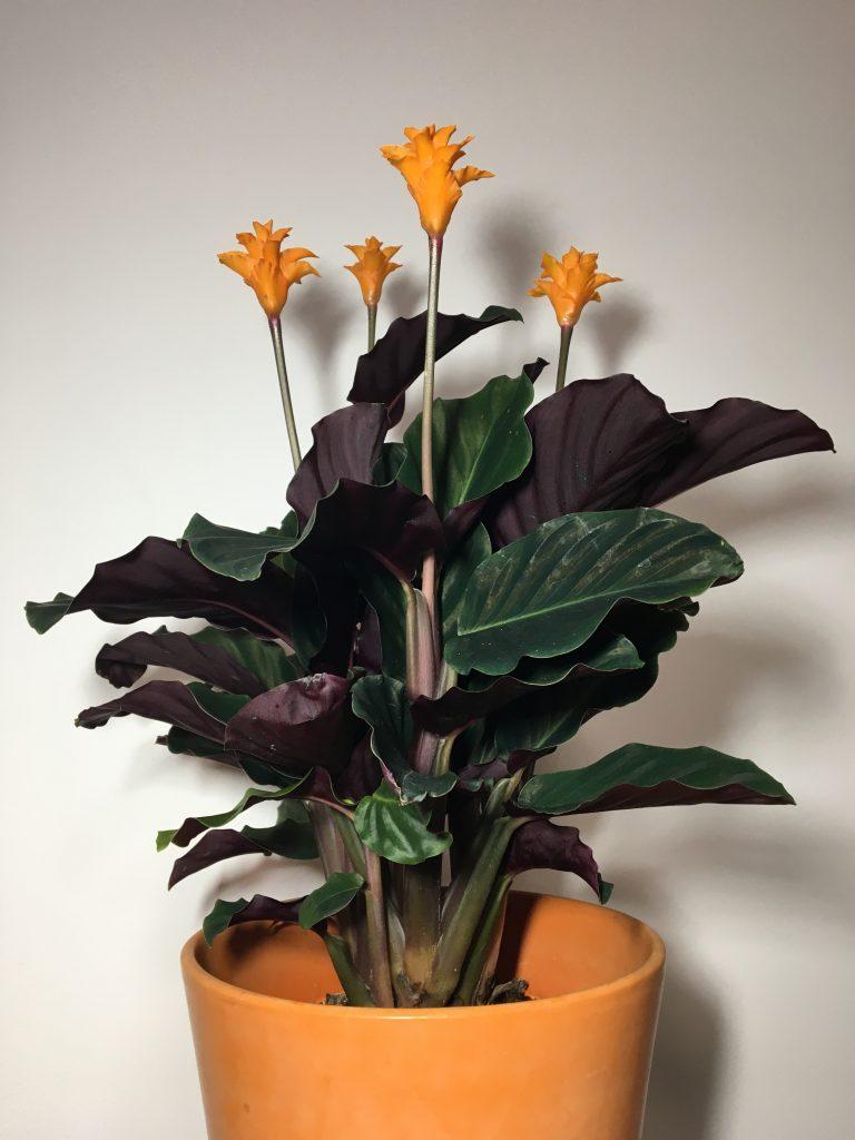 Kalatea šafránová (Calathea crocata) Tassmania