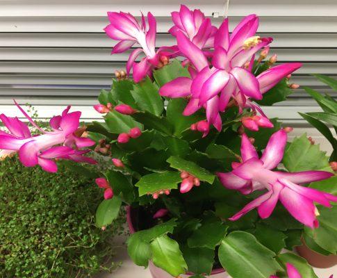 Vianočný kaktus, (Schlumbergera)