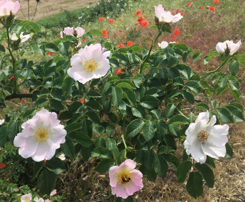 Ruža šípová, (Rosa canina)