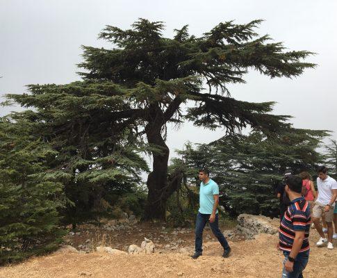 Céder libanonský, (Cedrus libani)