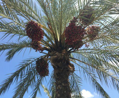 Datľová palma (Phoenix dactylifera)