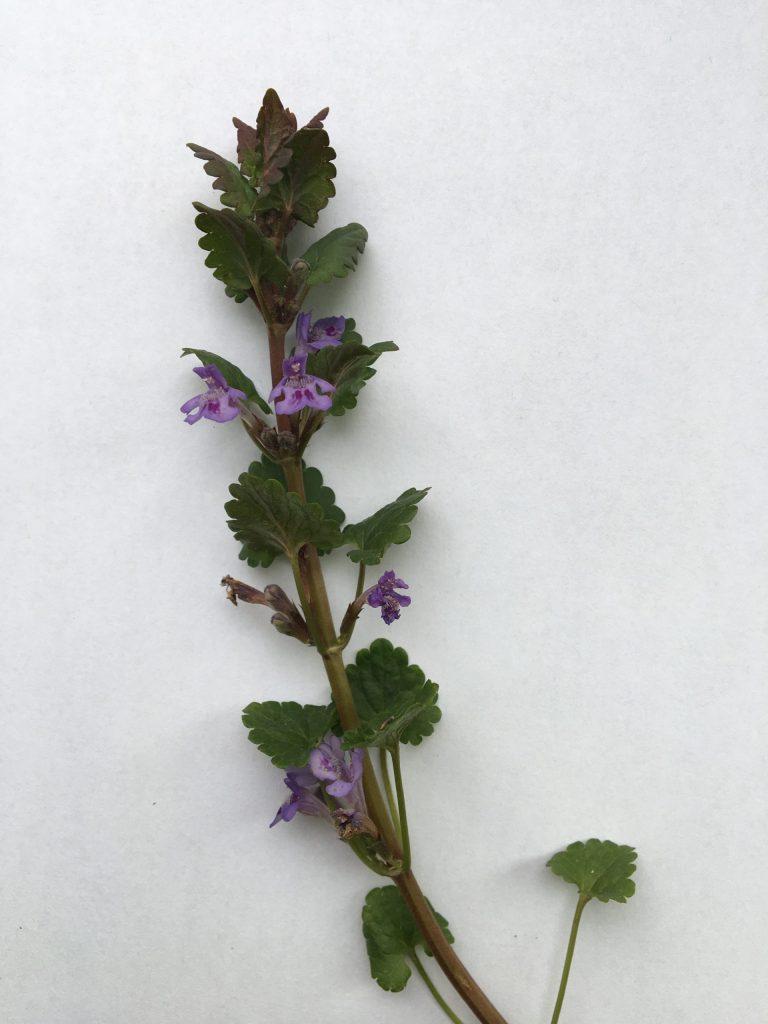 Zádušník brečtanovitý, (Glechoma hederacea)