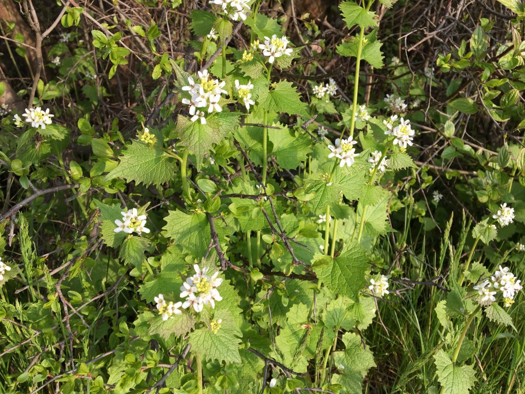 Cesnačka lekárska, (Alliaria petiolata)