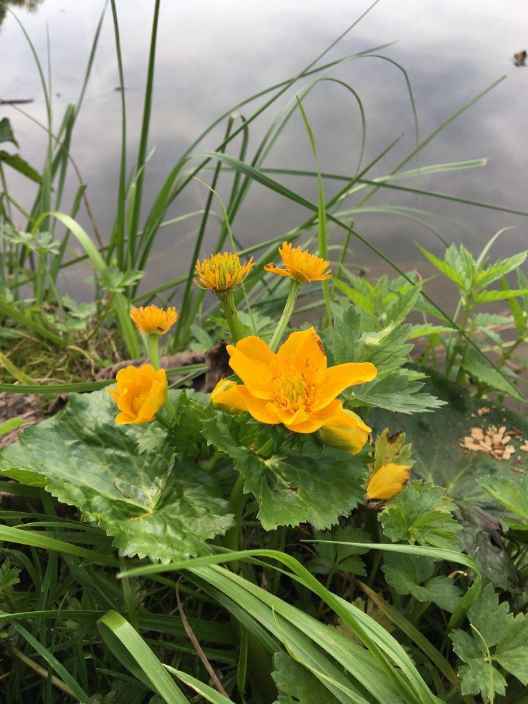 Záružlie močiarne, (Caltha palustris)