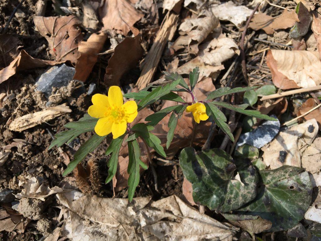 Veternica iskerníkovitá pravá (Anemone ranunculoides)