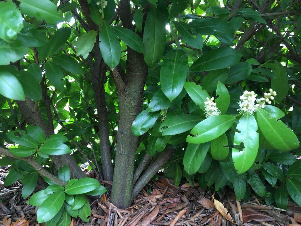 Vavrínovec lekársky, (Prunus laurocerasus)