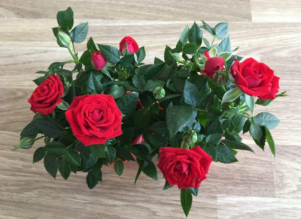Miniatúrna ruža, miniruža, izbová ruža, (Rosa)
