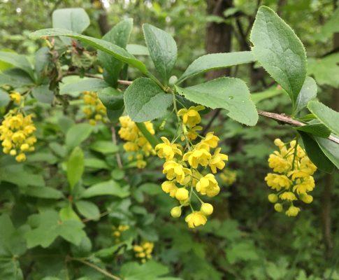 Dráč obyčajný, (Berberis vulgaris)
