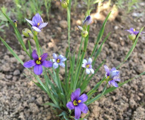 Mečovka horská, (Sisyrinchium montanum)