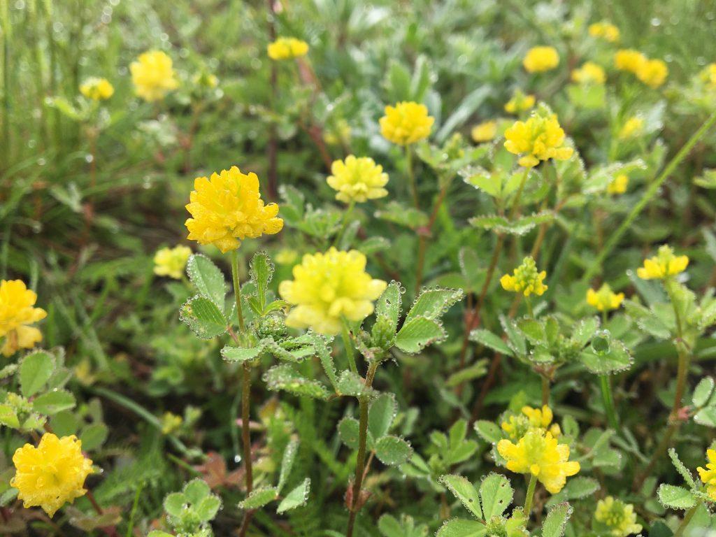 Ďatelina poľná, (Trifolium campestre)