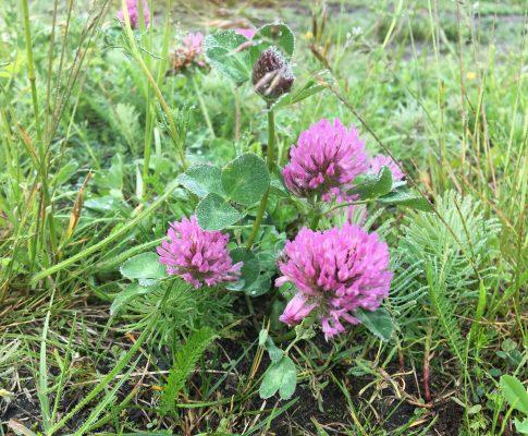 Ďatelina lúčna, (Trifolium pratense)