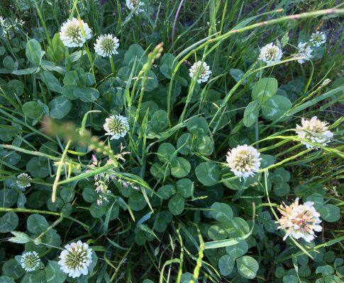 Ďatelina plazivá, (Trifolium repens)
