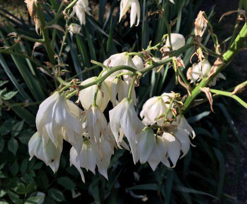 Juka vláknitá, (Yucca filamentosa)