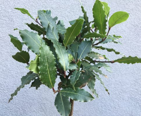Vavrín pravý, bobkový list, (Laurus nobilis)