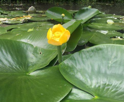 Leknica žltá, (Nuphar lutea)