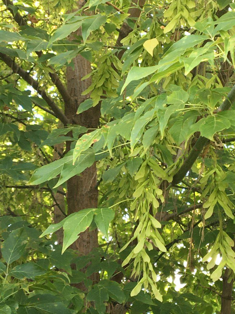 Javorovec jaseňolistý, (Negundo aceroides)