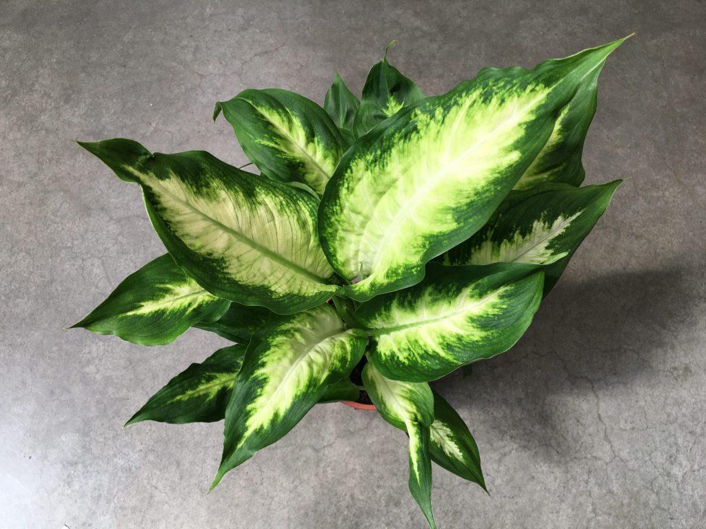 Difenbachia škvrnitá, (Dieffenbachia maculata) ´Camilla´