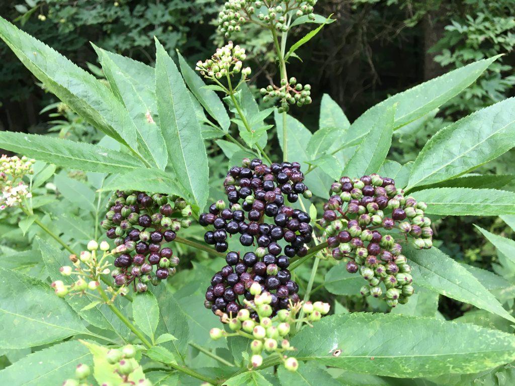 Baza chabzdová (Sambucus ebulus)