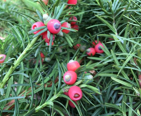 Tis obyčajný, (Taxus baccata)